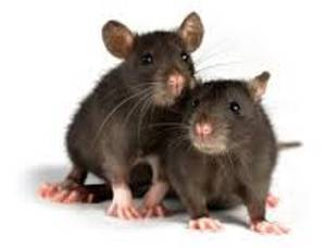 Make Millers your first choice for professional rodent pest control solutions